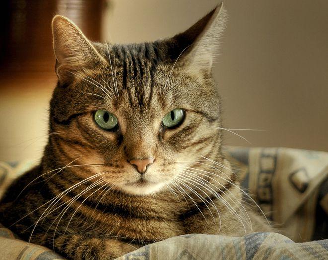 кошка фея