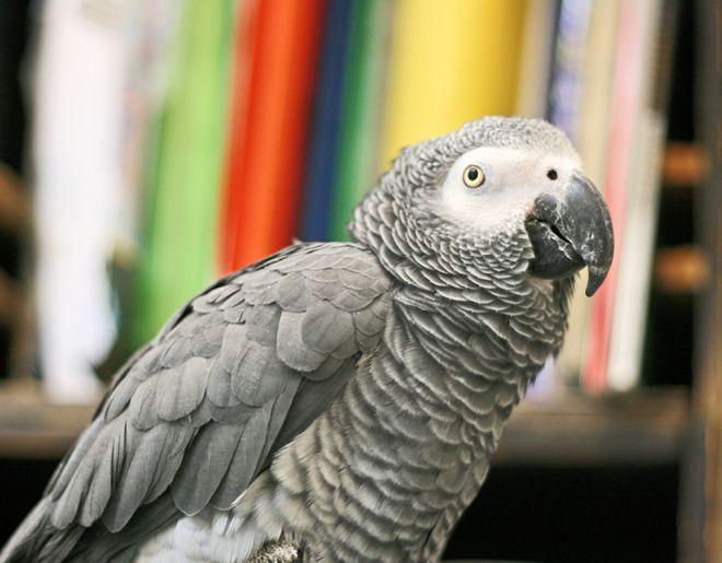 попугаи1