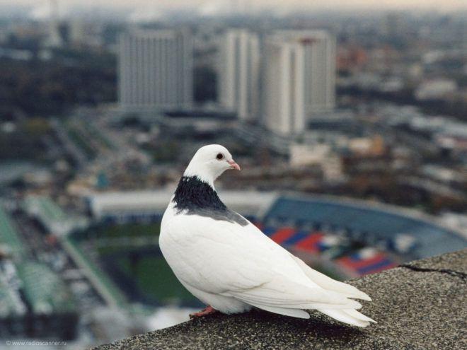 запрещено приближаться к почтовым голубям
