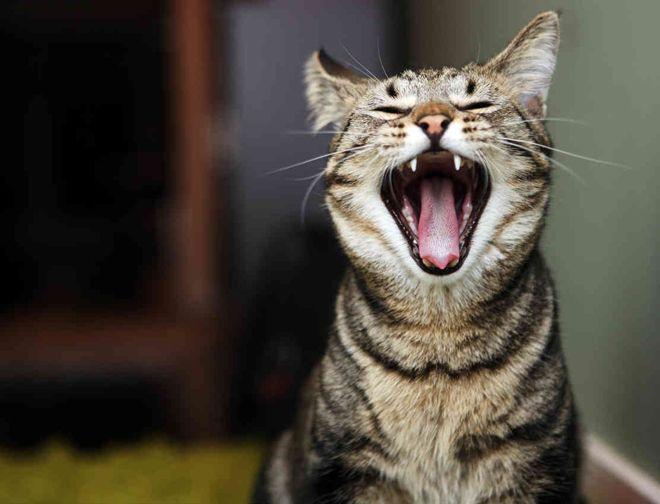 звуки кошки