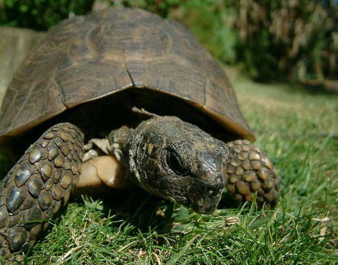 черепаха сильвестоун
