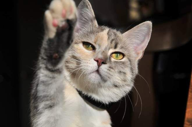 кошка правша