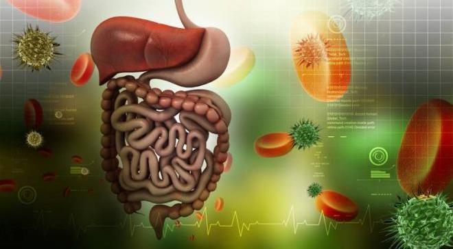 Основная доля пищи переваривается не желудком