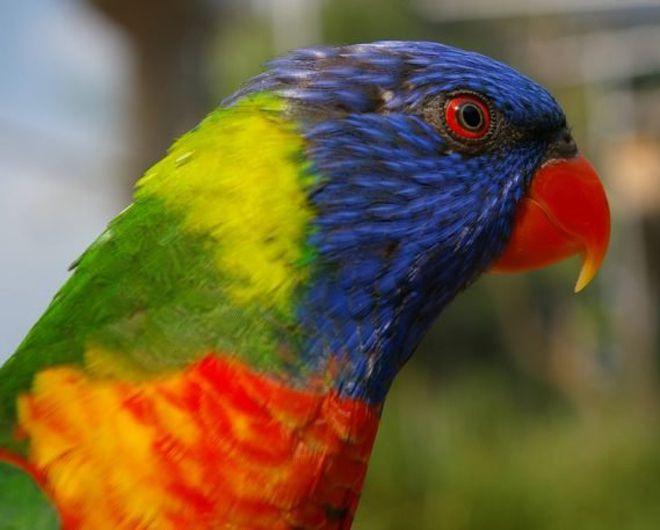 африканский попугай ксоки