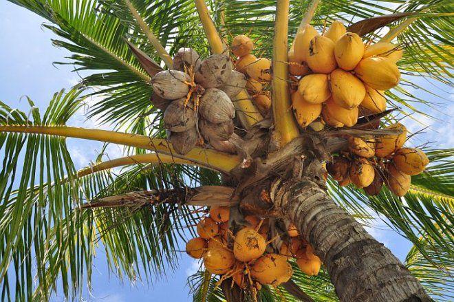 кокос1