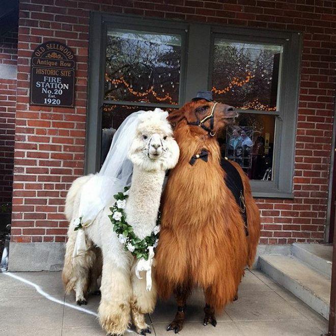 лама невеста