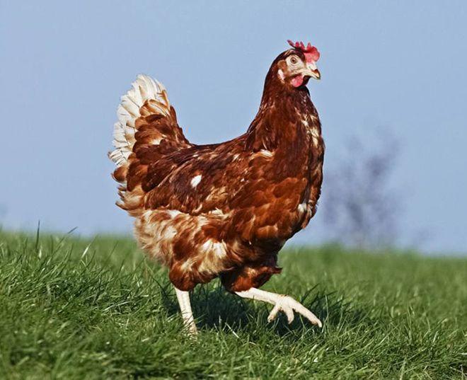 курица гигу