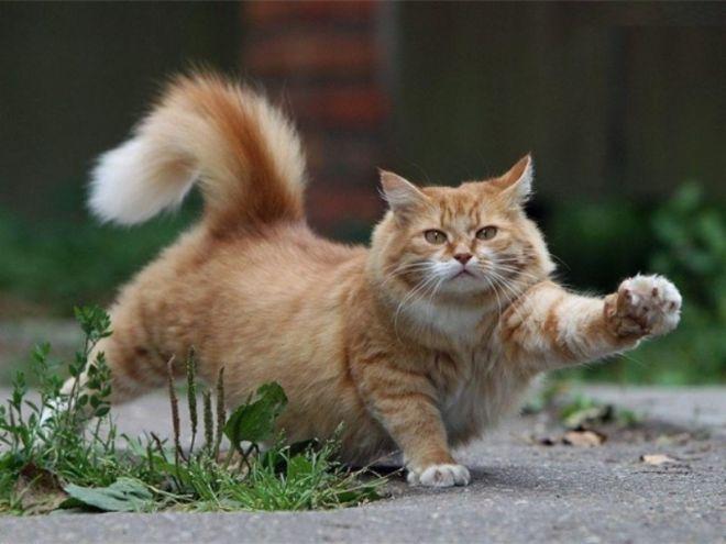 Кошка гуляет с хвостом