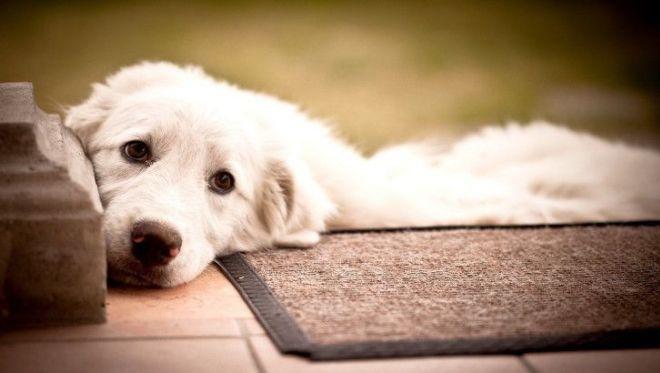 Собаки идеальные психотерапевты