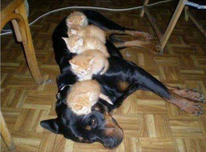 Длина собаки