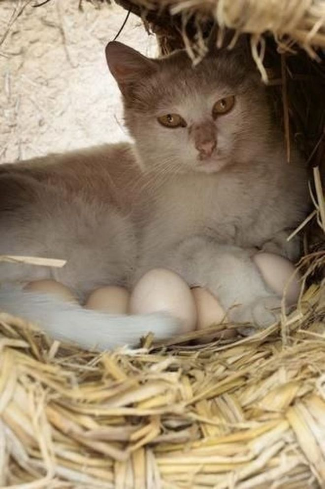 Кошка на яйцах