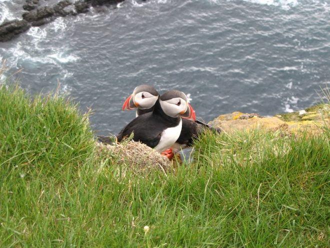 Удивительные птицы тупики – парные животные