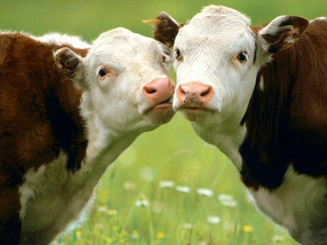 Зря коров считают глупыми животными