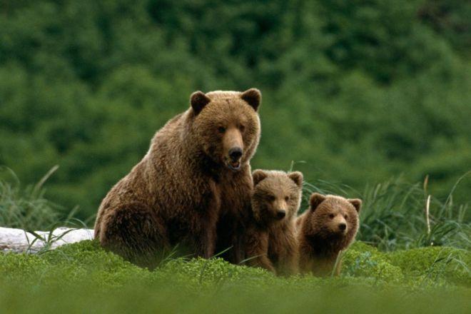 Медведи гризли очень привязаны к своей матери
