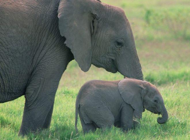 В детстве слонята любят сосать свой хобот