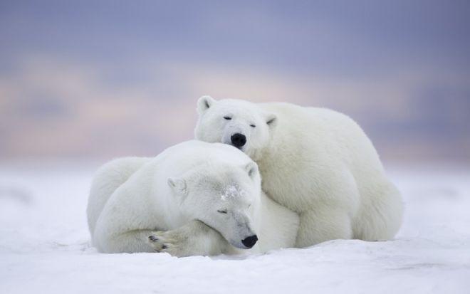 Белые медведи иногда делают жест «нос к носу»