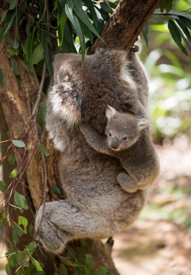 Перед вами мама коала с детенышем