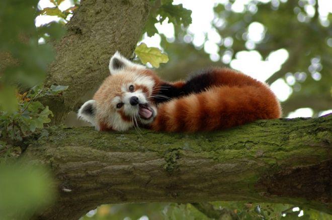 Красные панды очень пушистые звери