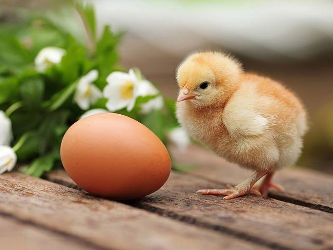Цыплята, могут общаться со своими невылупившимися братьями