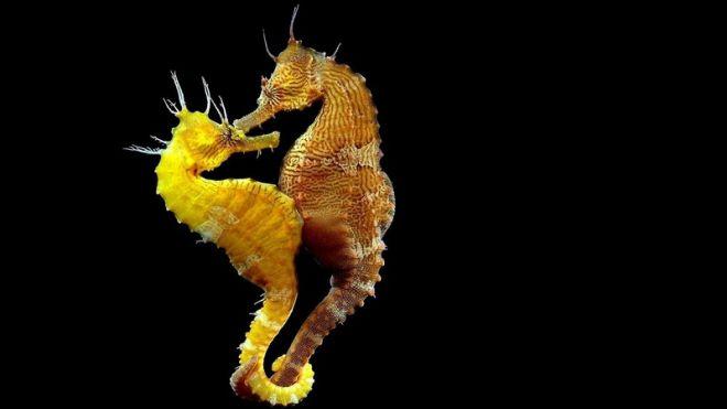 Найдя своего партнера на всю жизнь, морские коньки сцепляются хвостиками
