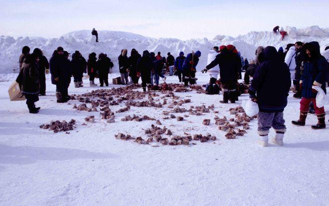 Эскимосы распределяют моржовый копальхен