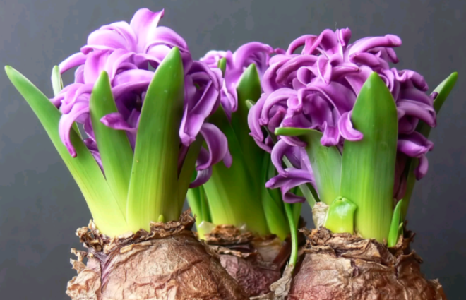 Хранение луковиц гиацинтов после цветения