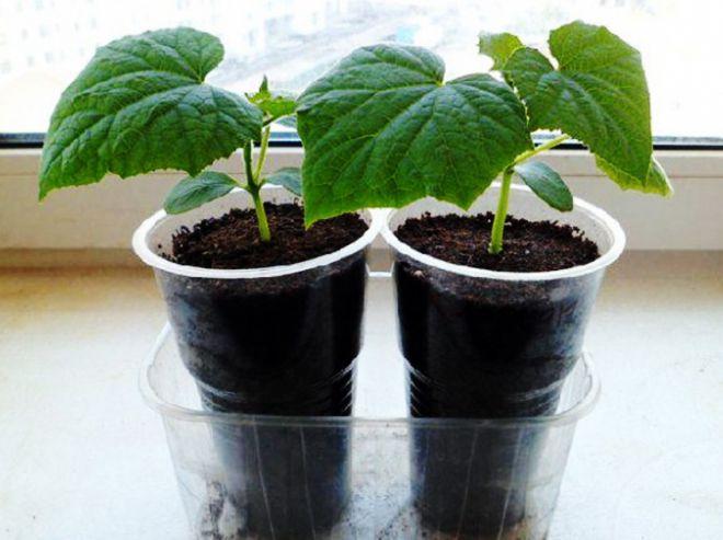 посадить огурцы на рассаду в стаканчики