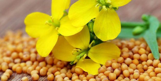 Как использовать горчичный жмых на огороде