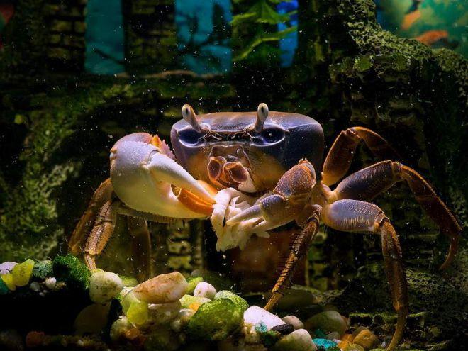 Чем кормить аквариумных крабов