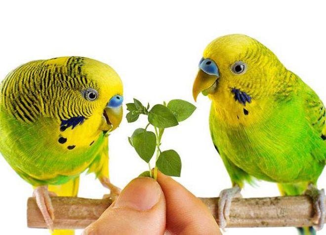 рацион волнистого попугая