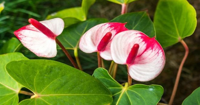 цветок мужское счастье как ухаживать