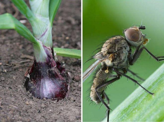 березовый деготь от луковой мухи