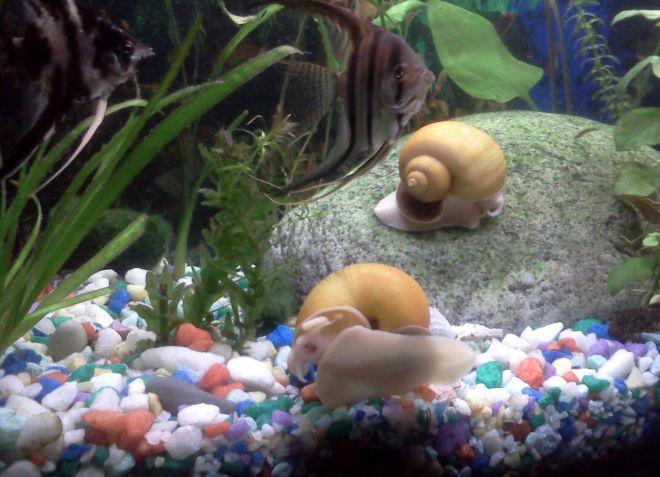 в аквариуме с ампуляриями быстро мутнеет вода