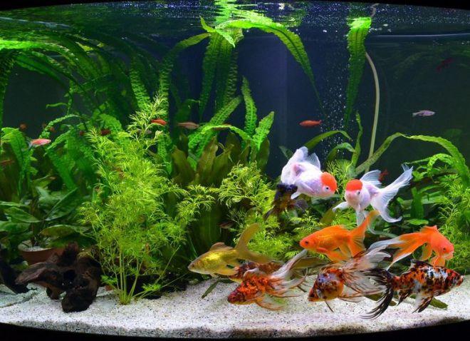 как оборудовать аквариум для золотых рыбок