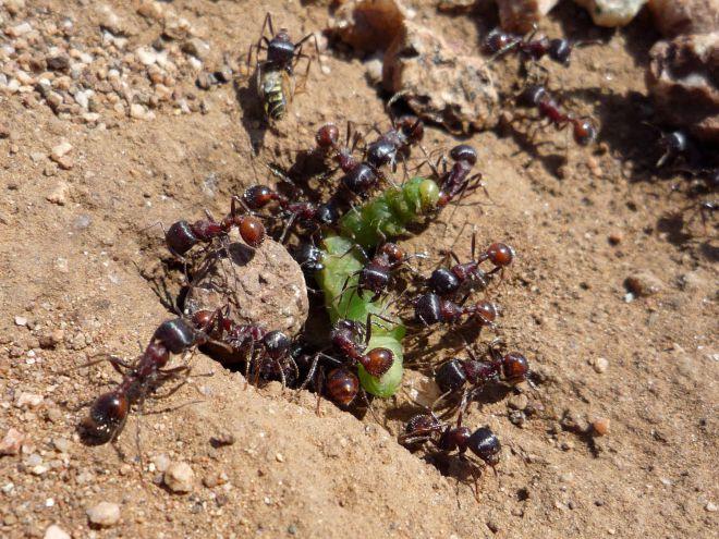 вред от муравьев в теплице