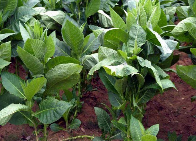 какой табак выращивать