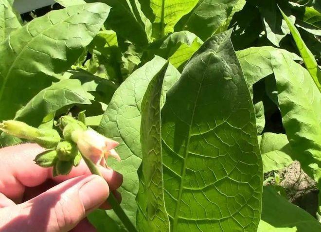 условия выращивания табака