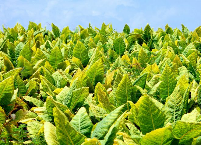 температура выращивания табака