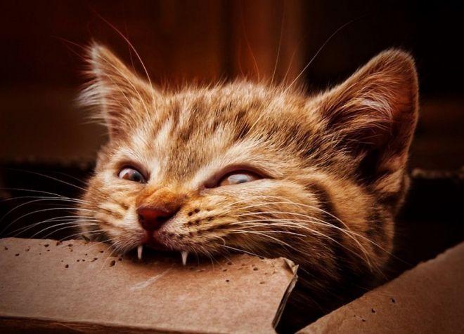 смена зубов у котят
