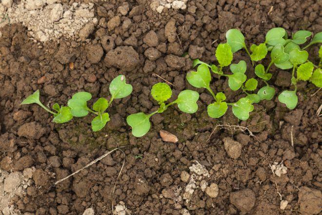 особенности посадки пекинской капусты