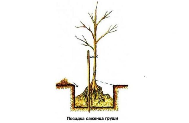 как посадить грушу лада