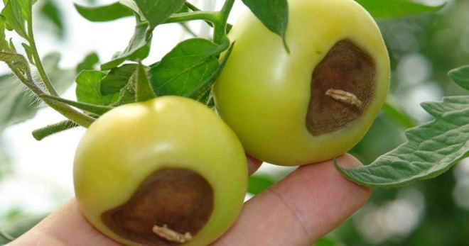 Кальциевая селитра для помидор от вершинной гнили