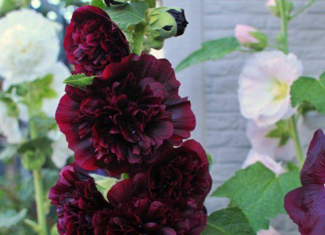 посадка шток розы на рассаду семенами