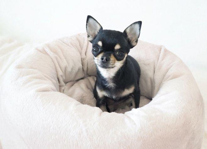 характер собак породы чихуахуа