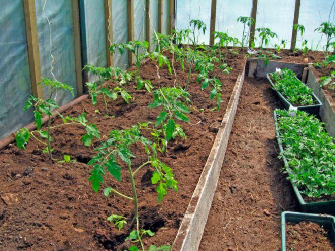 можно вырастить помидоры в теплице