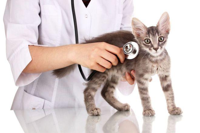 что делать если у кошки температура
