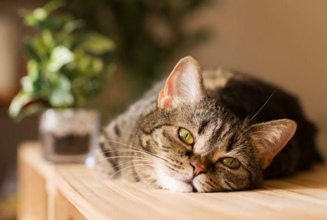 критическая температура у кошки