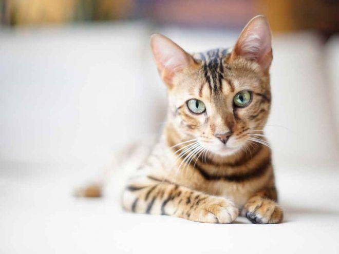 температура здоровой кошки