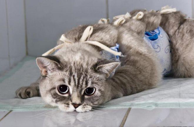 температура у кошки после стерилизации