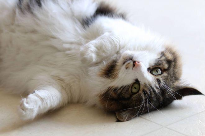 температура кошки перед родами